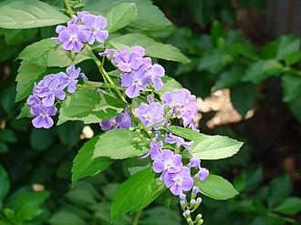 Duranta erecta - Flowers