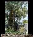 ETH-BIB-Ischia, Blühende Phoenix om Park S. Pietro-Dia 247-16229.tif