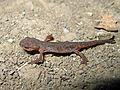 Eastern Newt, Notophthalmus viridescens - Flickr - GregTheBusker.jpg