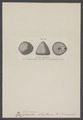 Echinoconus - Print - Iconographia Zoologica - Special Collections University of Amsterdam - UBAINV0274 007 02 0029.tif