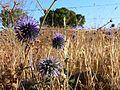 Echinops adenocaulos (2663314124).jpg
