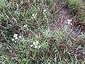 Edelweiss Jawa, Dieng.jpg
