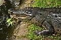 Ee crocodile cebu zoo 1a.jpg