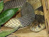 Egyptian Cobra 001.jpg