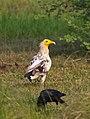 Egyptian Vulture (106032433).jpg