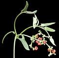 Einardia nutans subsp. eremaea - Flickr - Kevin Thiele.jpg