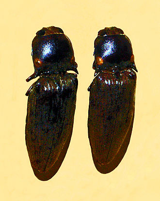 Pyrophorus tuberculifer - Pyrophorus tuberculifer from Guadeloupe. Mounted specimen