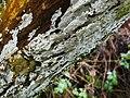 Elder Whitewash (Hyphodontia sambuci) - geograph.org.uk - 1721019.jpg