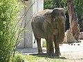 Elephas-maximus.jpg