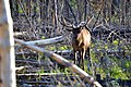 Elk in the Woods (14862311703).jpg