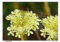 Els colors de la natura - groc - 01 abella de flor a flor (2723139905).jpg