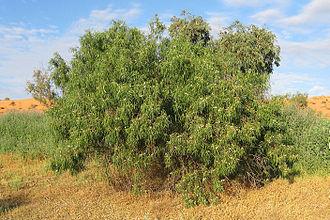 Black honeyeater - An Eremophila or Emu Bush in the Simpson Desert