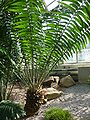 Encephalartos gratus (Zamiaceae) plant.jpg