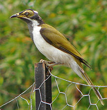 A medium-sized songbird with a khaki eye-patch sits on a fencepost with trees in the background.