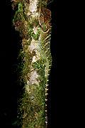 Enyalioides laticeps.jpg