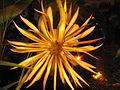 Epiphyllum-oxypetallum-back.JPG