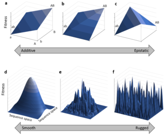 Epistasis - The top row indicates interactions between two genes that are either additive (a), show positive epistasis (b) or reciprocal sign epistasis (c). Below are fitness landscapes which display greater and greater levels of global epistasis between large numbers of genes. Purely additive interactions lead to a single smooth peak (d), as increasing numbers of genes exhibit epistasis, the landscape becomes more rugged (e) and when all genes interact epistatically the landscape becomes so rugged that mutations have seemingly random effects (f).