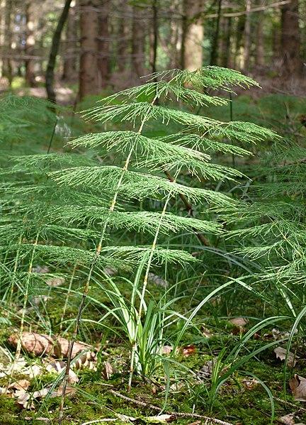 Praslička lesná - letná zelená byľ