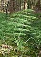 Equisetum sylvaticum 180607.jpg