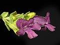 Eremophila platythamnos subsp. exotrachys - Flickr - Kevin Thiele.jpg