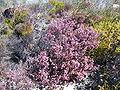 Erica similis (2).jpg