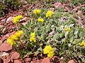 Eriogonum flavum (5006710302).jpg