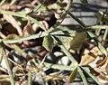 Eriogonum panamintense 5.jpg