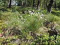 Eriophorum vaginatum kz1.JPG