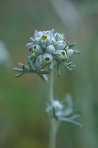 Eriophyllum confertiflorum - The buds are small, oval, and greenish-white.