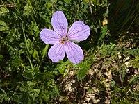 Erodium gruinum פרח מקור חסידה יער צרעה.jpg