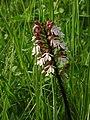 Eußenheim Neubergsgraben Mai 2007 Orchideen 02.jpg
