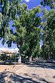 EucalyptusTreesEast.jpg