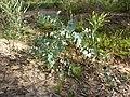 Eucalyptus bridgesiana (5369179961).jpg