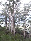 Eucalyptus oreades - Narrow Neck Katoomba