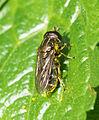 Eumerus sp (17119011123).jpg