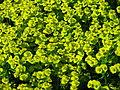 Euphorbia cyparissias flowering 01.JPG