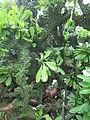 Euphorbia neriifolia Hong Kong.jpg