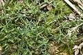 Euphorbia peplus camp-st-fuscien-dury 80 15082007 2.jpg