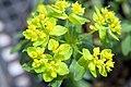 Euphorbia polychroma 4zz.jpg