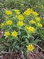 Euphorbia polychroma sl5.jpg