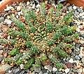 Euphorbia pugniformis 1.jpg