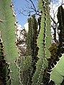Euphorbia sp.5 - Mt. Yoloko (10003630124).jpg