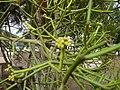 Euphorbia tirucalli 0004.jpg