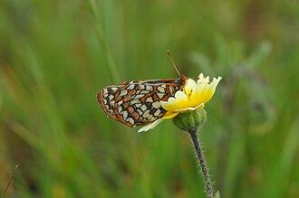 Bay checkerspot butterfly - Image: Euphydryas editha bayensis