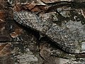 Eupithecia nanata - Narrow-winged pug - Цветочная пяденица вересковая (43789118381).jpg