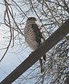 Eurasian Sparrowhawk.JPG