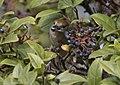 Eurasian blackcap - Sylvia atricapilla, 2020-01-12 03.jpg