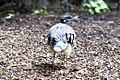 Eurypyga helias -ZooParc de Beauval, France-6a.jpg
