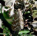 Evergestis.frumentalis.jpg