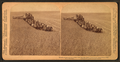 Evolution of sickle and flail, 33 horse team harvester, cutting, threshing and sacking wheat, Walla Walla, Washington, from Robert N. Dennis collection of stereoscopic views 2.png
